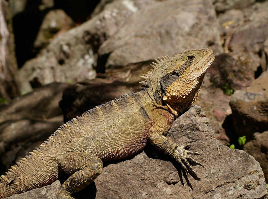 Australia rocks brown lizard