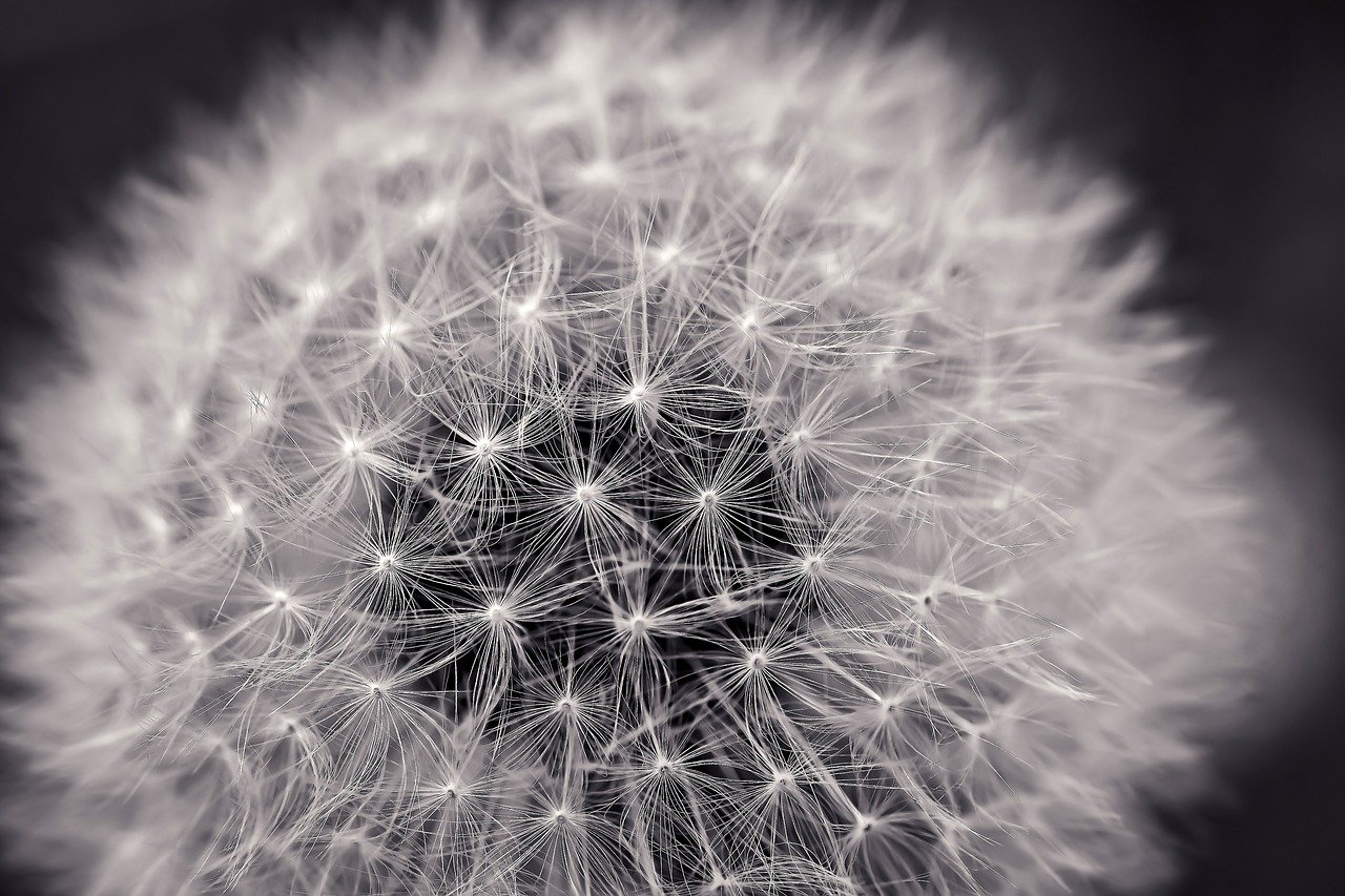 FREE dandelion Stock Photos from PikWizard