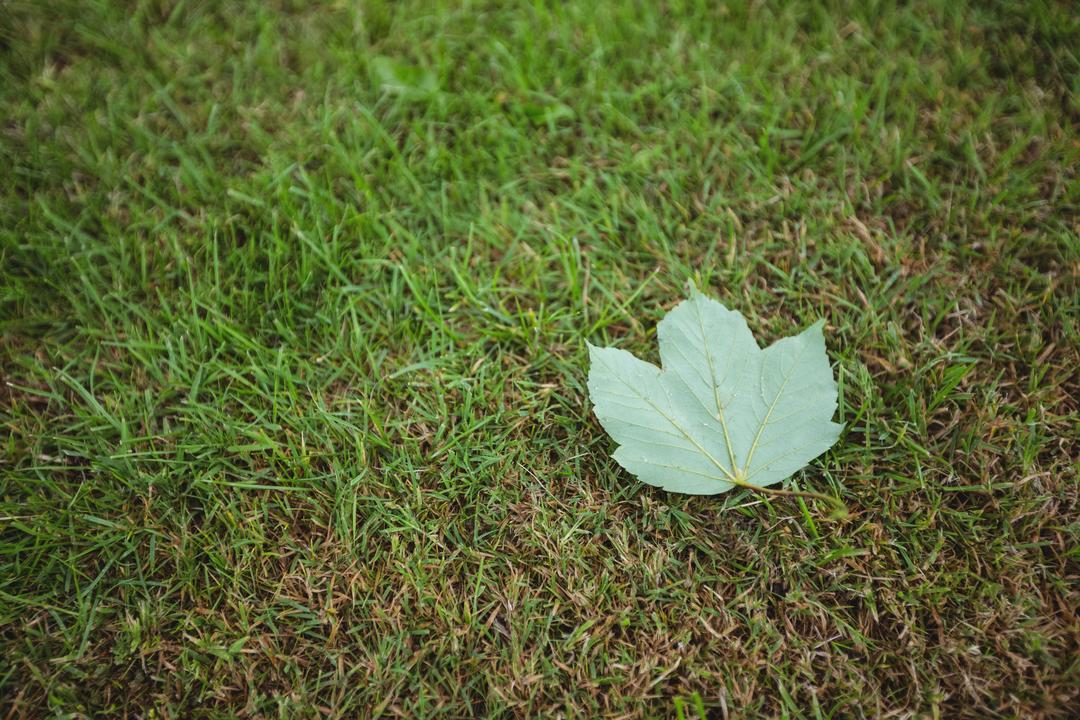 Maple leaf fallen on green grass, backgrounds Free Stock Images from PikWizard