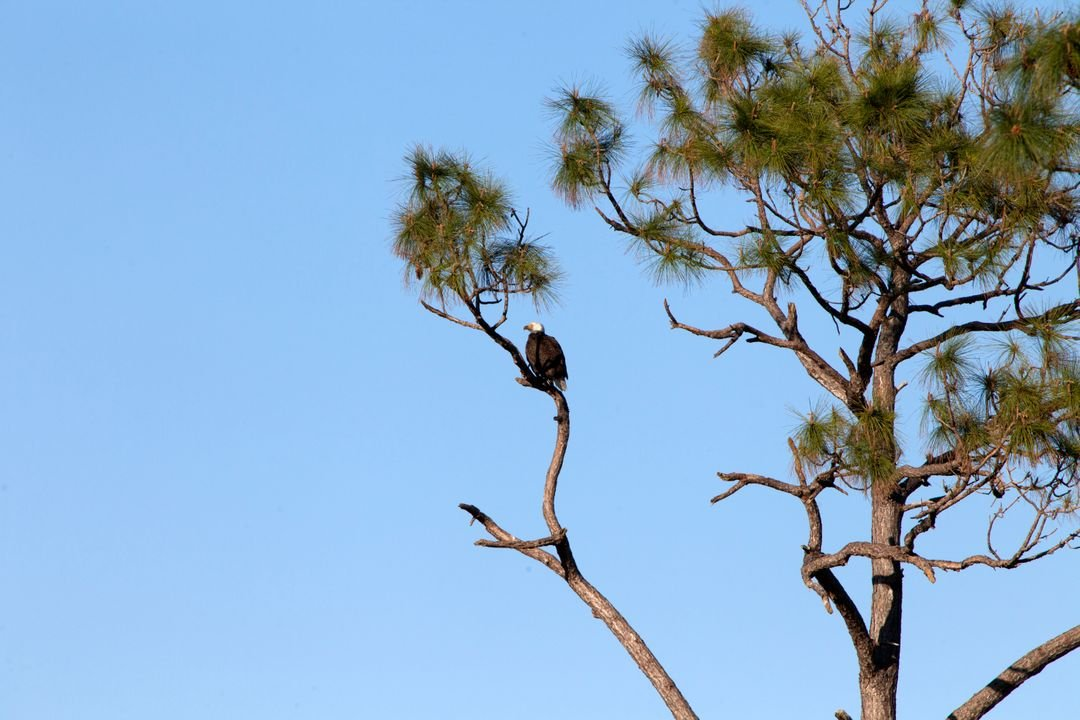 An adult American bald eagle perches on a branch in a tree along State Road 3 at NASA's Kennedy Space Center in Florida. Eagles have built nests in trees at the center for many years. The center shares a border with the 140,000-acre Merritt Island National Wildlife Refuge. More than 330 native and migratory bird species, 25 mammals, 117 fishes and 65 amphibians and reptiles call Kennedy and the wildlife refuge home.