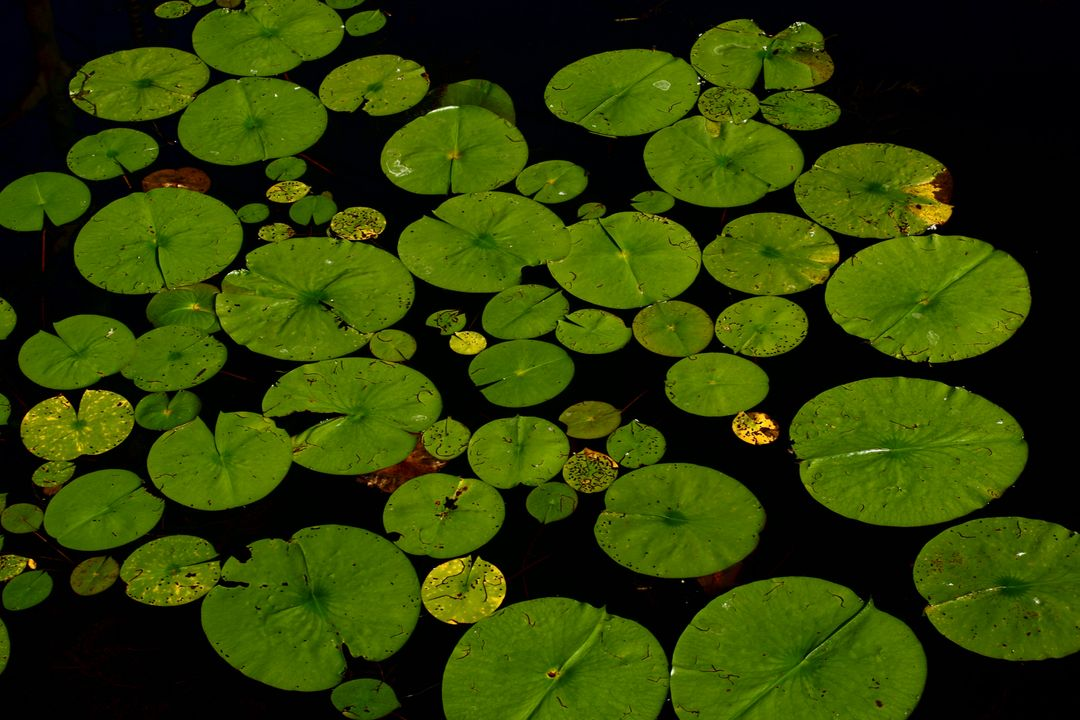 Lilly pad water nature