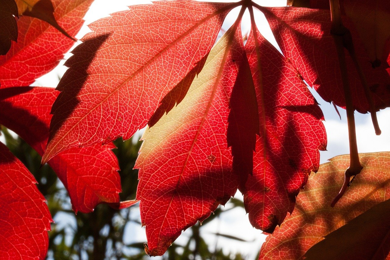 FREE maple Stock Photos from PikWizard