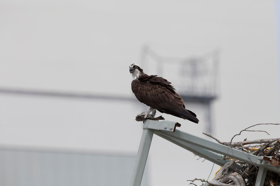 An osprey, clutching a fish, pauses for a meal atop a metal structure at NASA's Kennedy Space Center in Florida. The spaceport shares boundaries with the Merritt Island National Wildlife Refuge, which is home to more than 330 native and migratory bird species, along with 25 mammal, 117 fish, and 65 amphibian and reptile species.