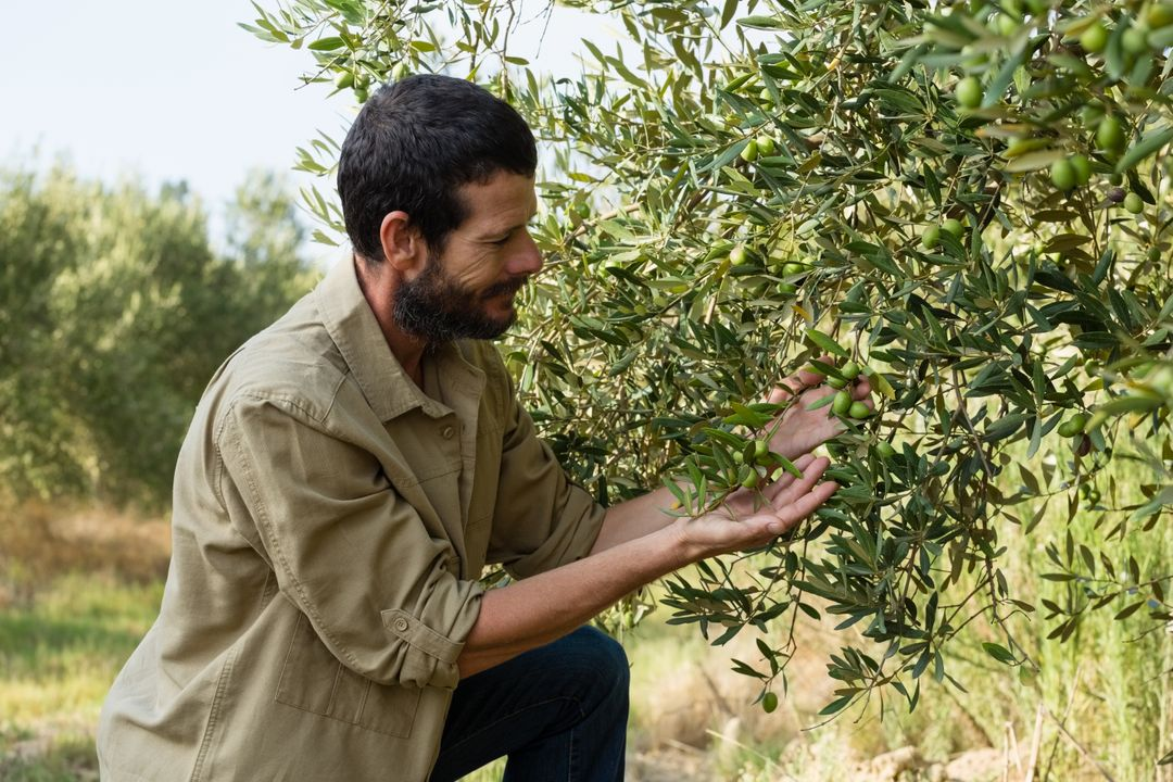 Farmer checking a tree of olive in farm Free Stock Images from PikWizard