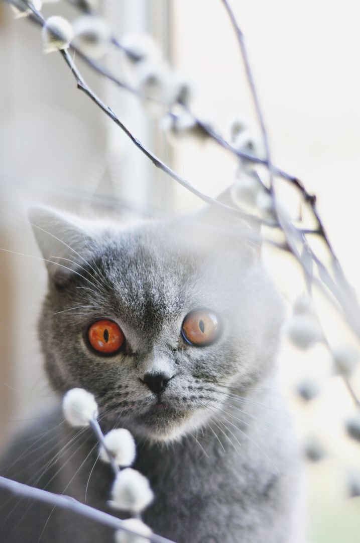 A young kitten amber eyes animal british shorthair cat