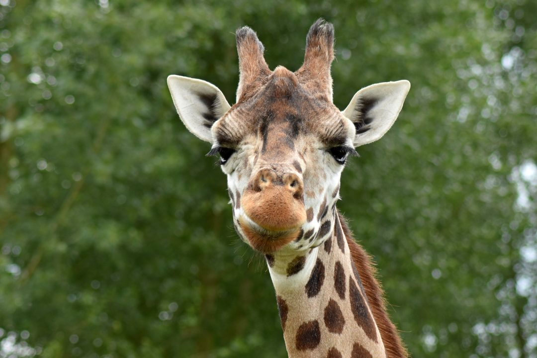 Africa animal cute giraffe