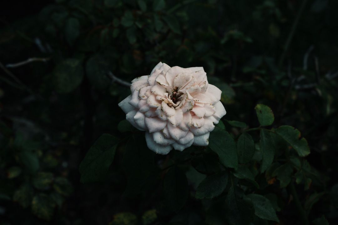 Rose Shrub Plant