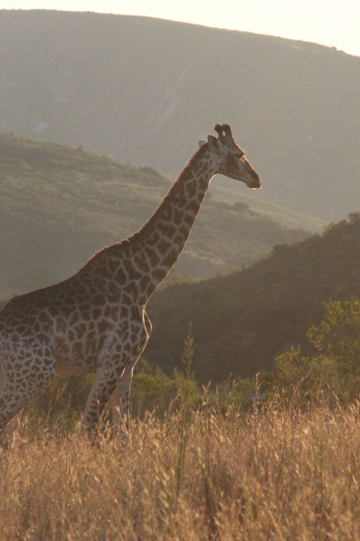 Africa animal giraffe grass