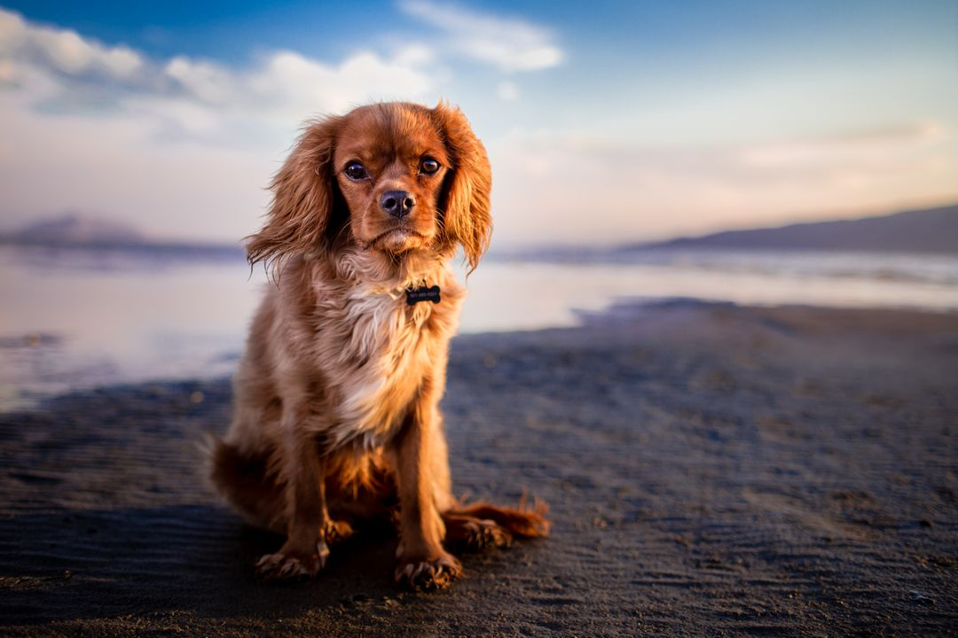 Sporting dog Spaniel Cocker spaniel