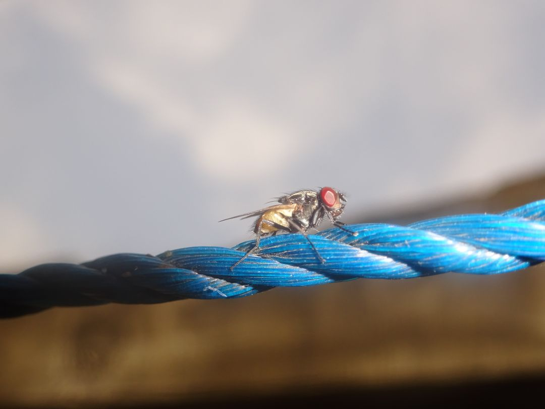 Animal blue cord fly