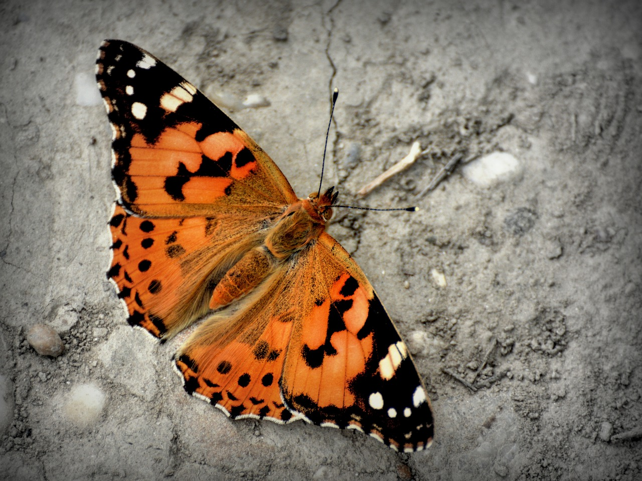 FREE butterfly image