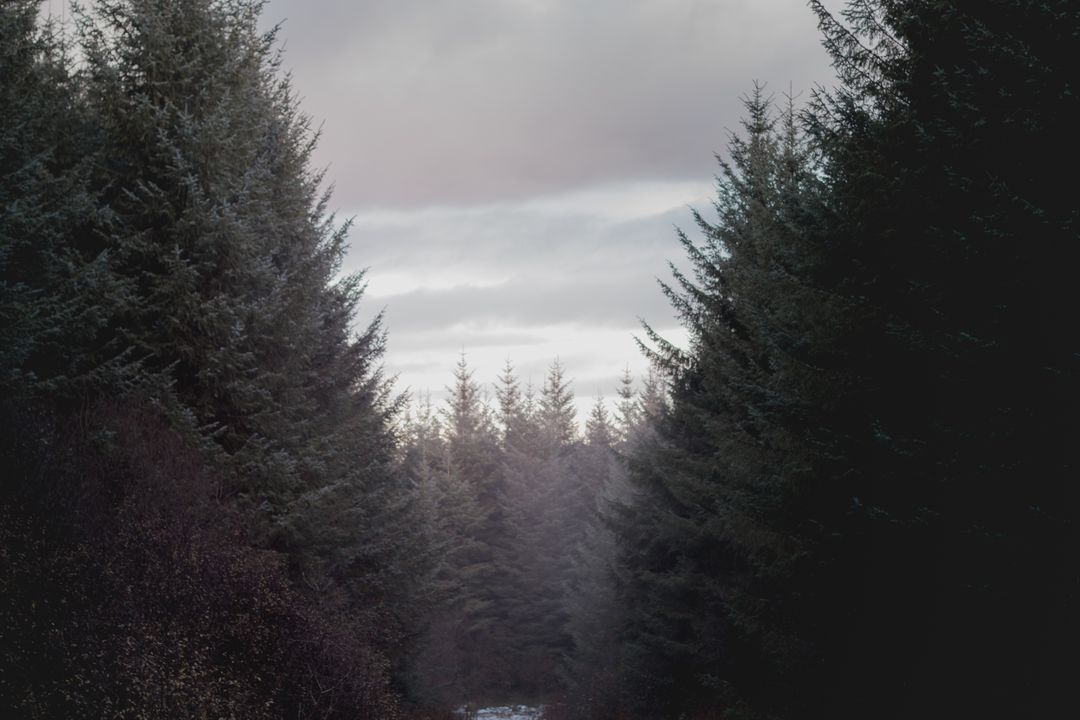 Coniferous forest trees wood