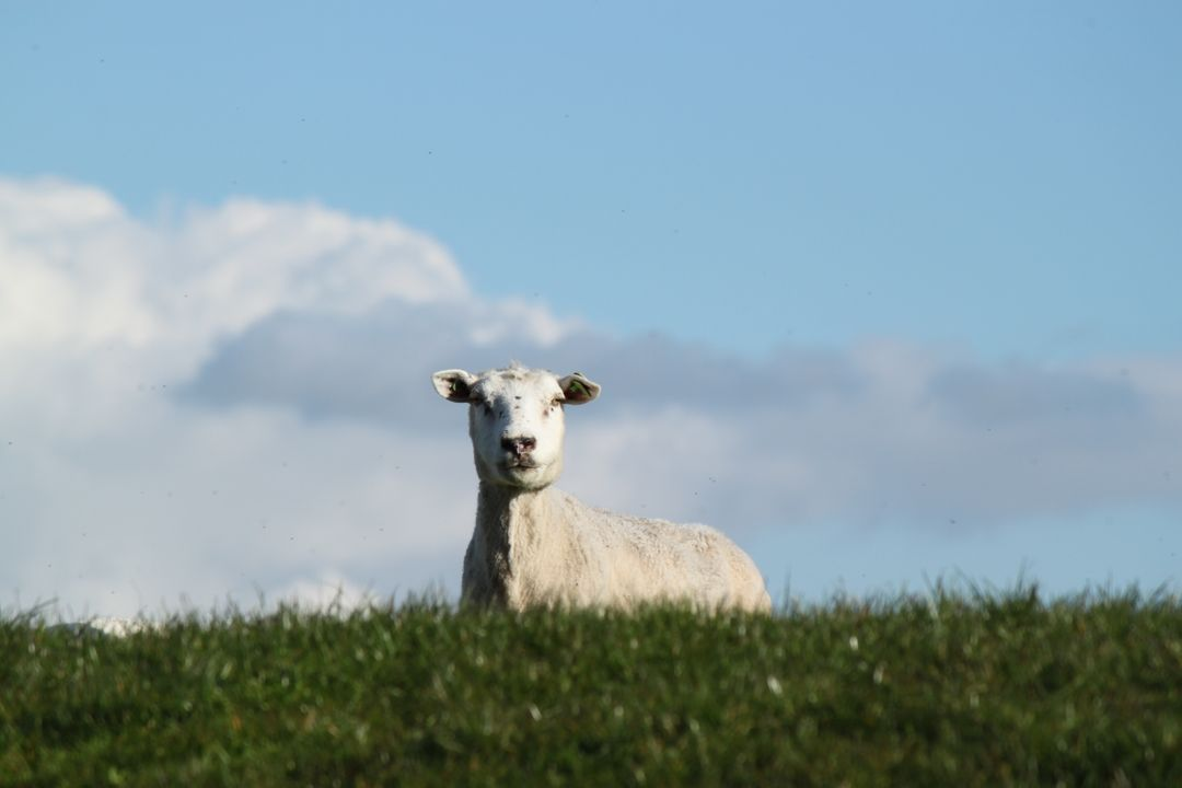 Simpleton Sheep Animal