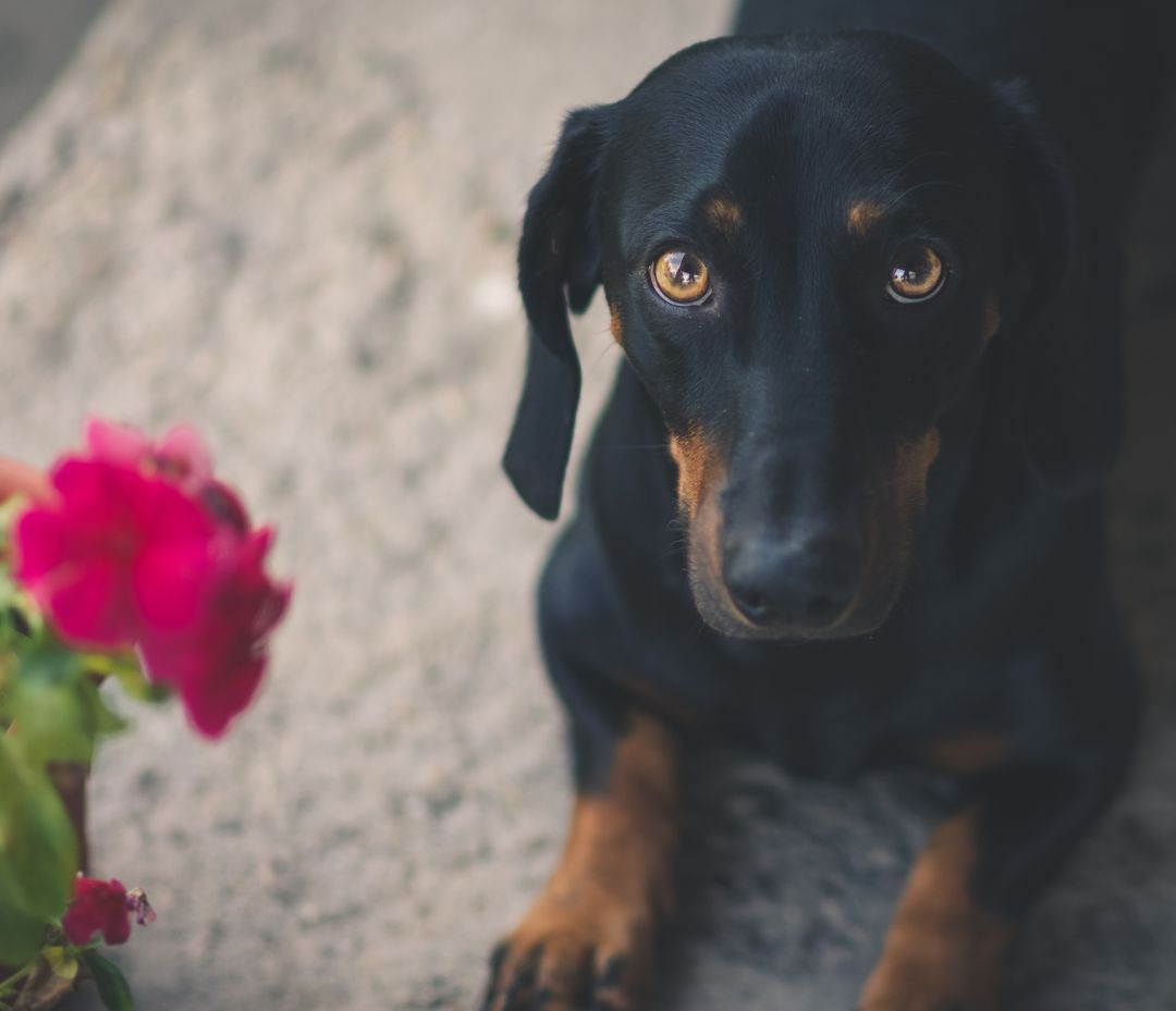 Doberman Pinscher Watchdog