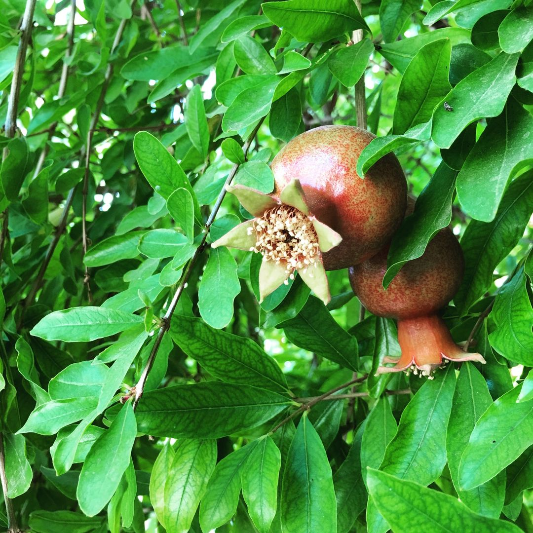 Fruit Acorn Hip