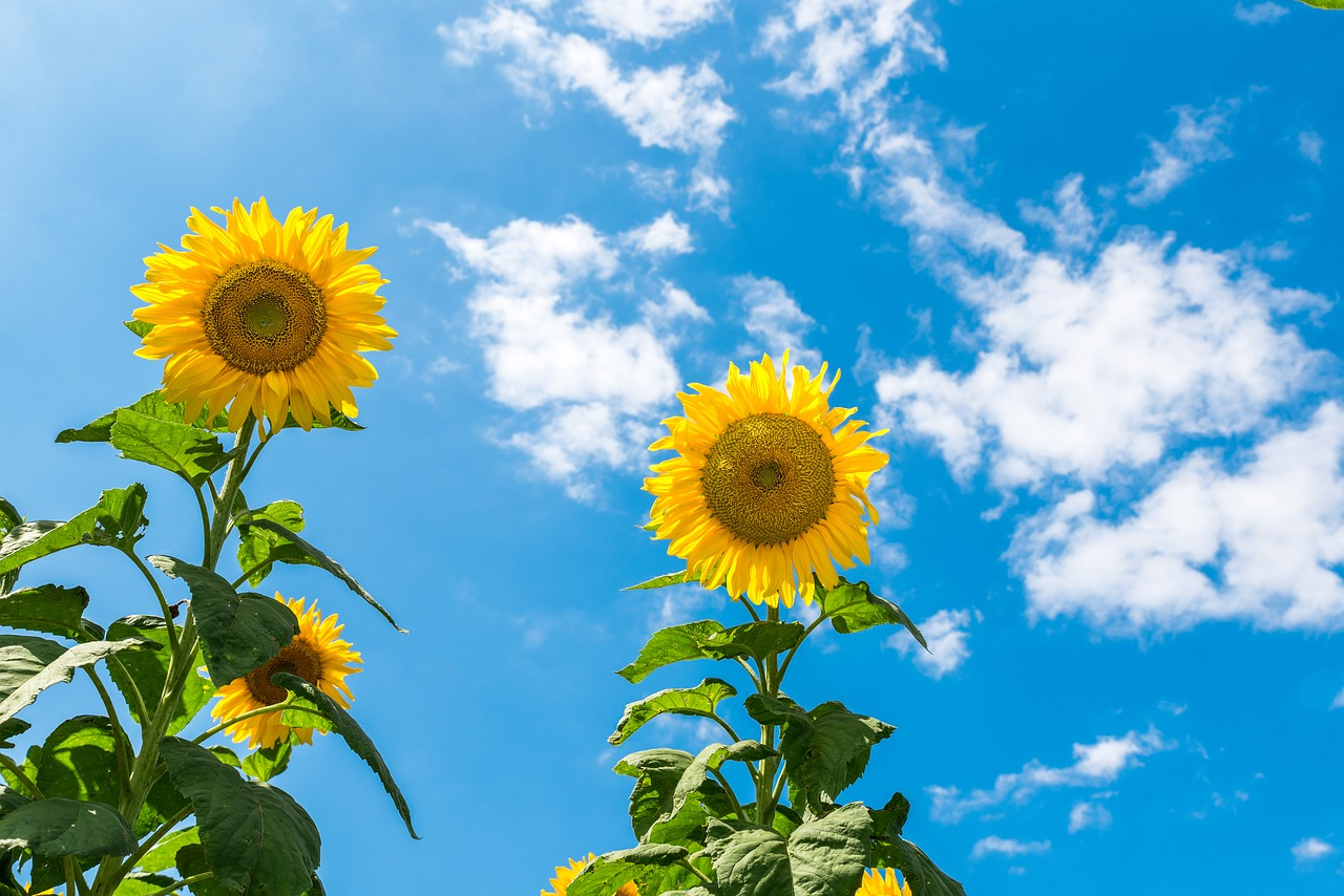FREE sunflower Stock Photos from PikWizard
