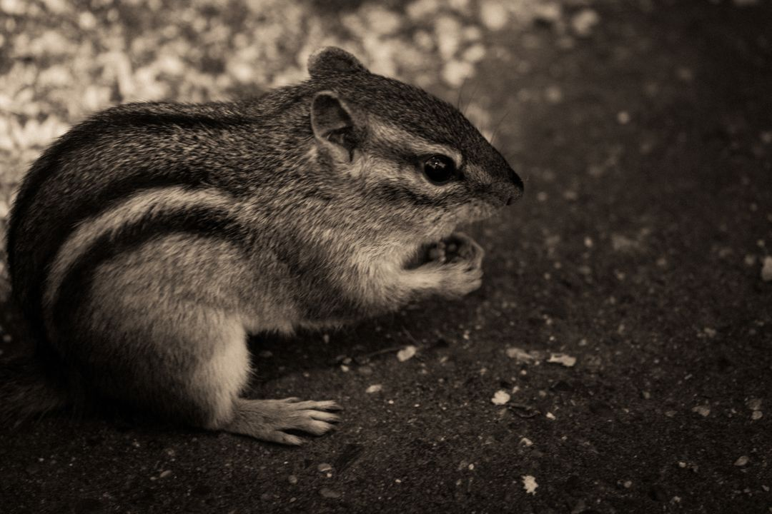 Chipmunk animals black and white