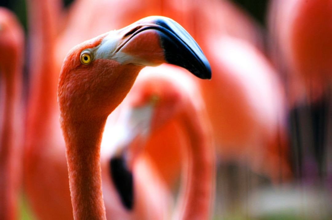 Pink flamingos birds