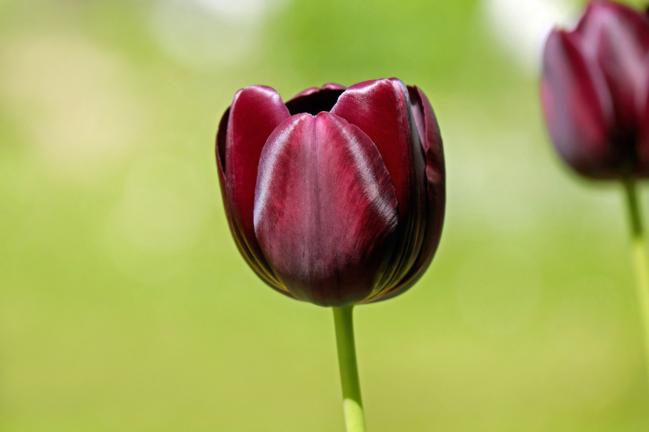 FREE tulip Stock Photos from PikWizard