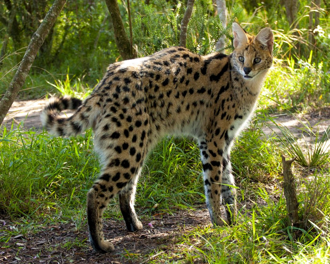 Cheetah Big cat Feline
