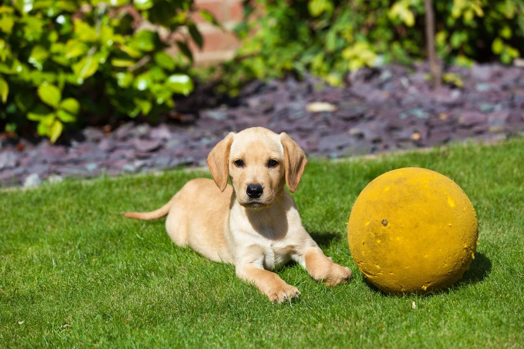 High Angle View of Golden Retriever Sitting on Grass Free Stock Images from PikWizard