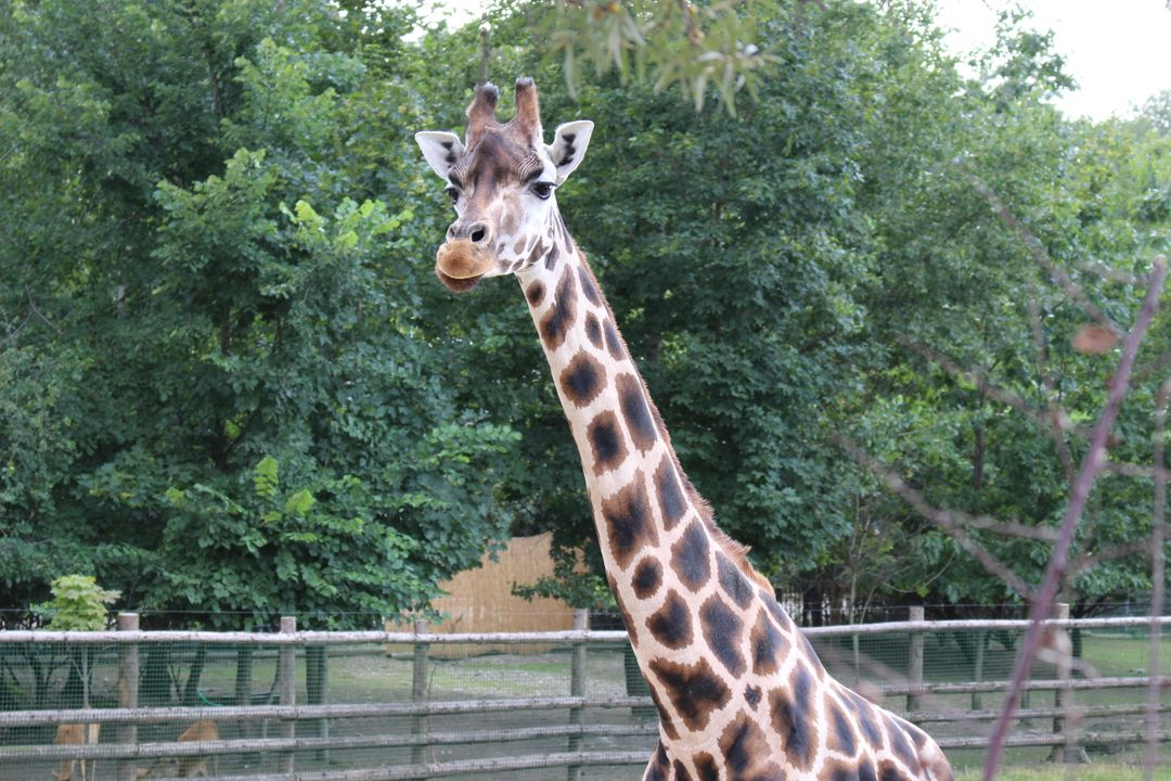 Giraffe Africa Animal