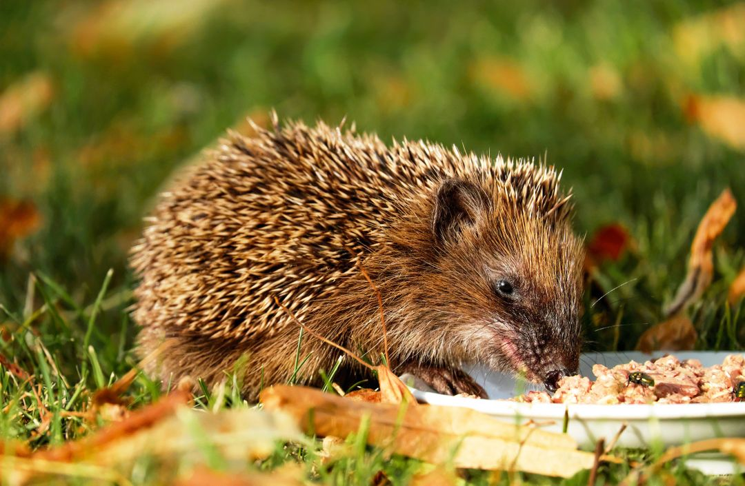 Brown Hedgehog Eating on Green Grass