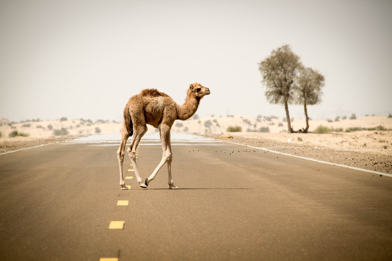 FREE camel Stock Photos from PikWizard