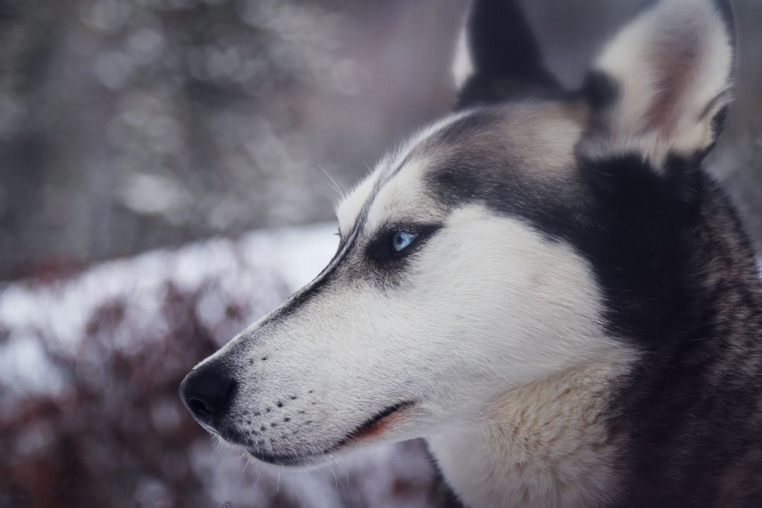 White and Gray Blue Eyes Husky