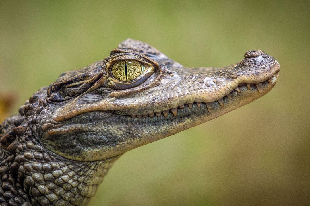 Crocodile Face in Close-up Photography