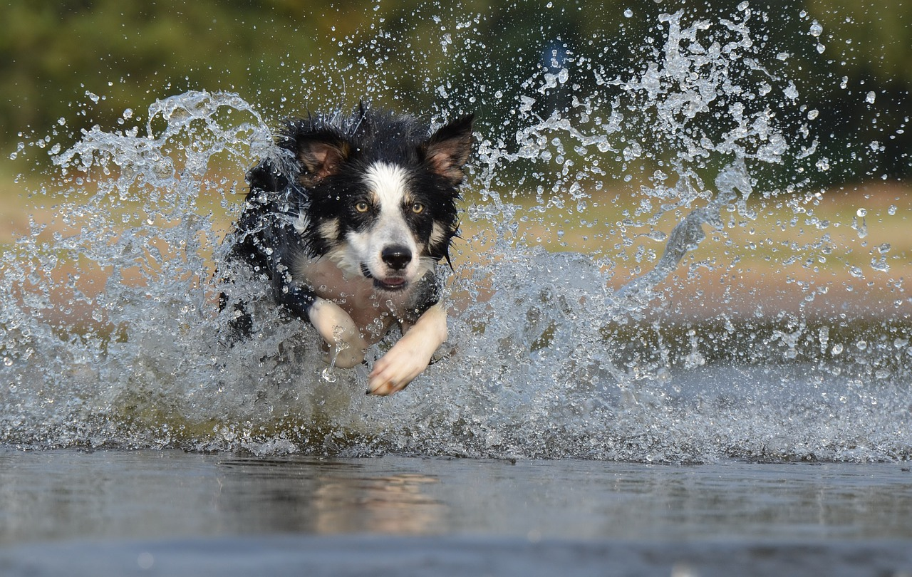 FREE border collie Stock Photos from PikWizard