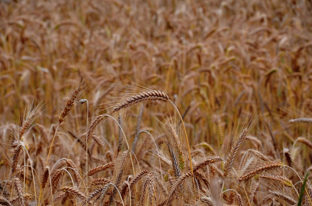 Wheat grains crops