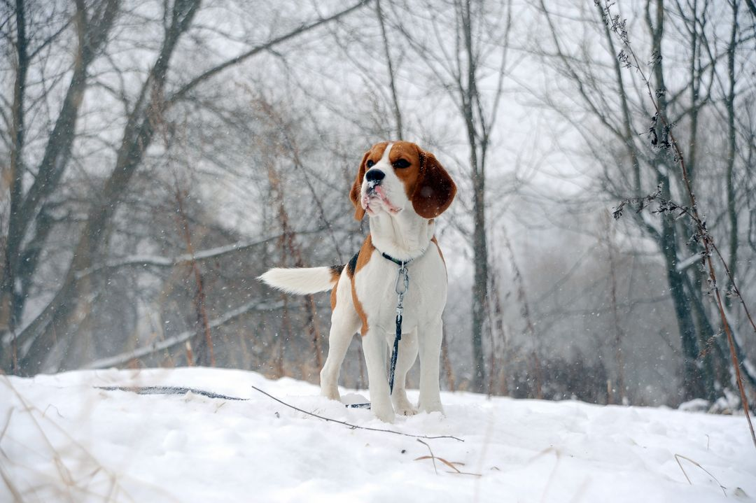 Foxhound Walker hound Hound