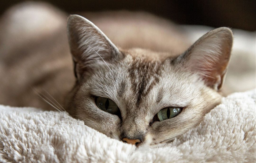close up image of a cat laying down with green eyes looking at the camera