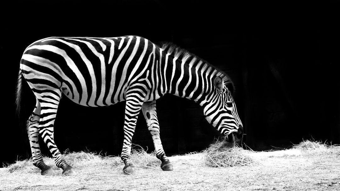 Africa animal black and white eat