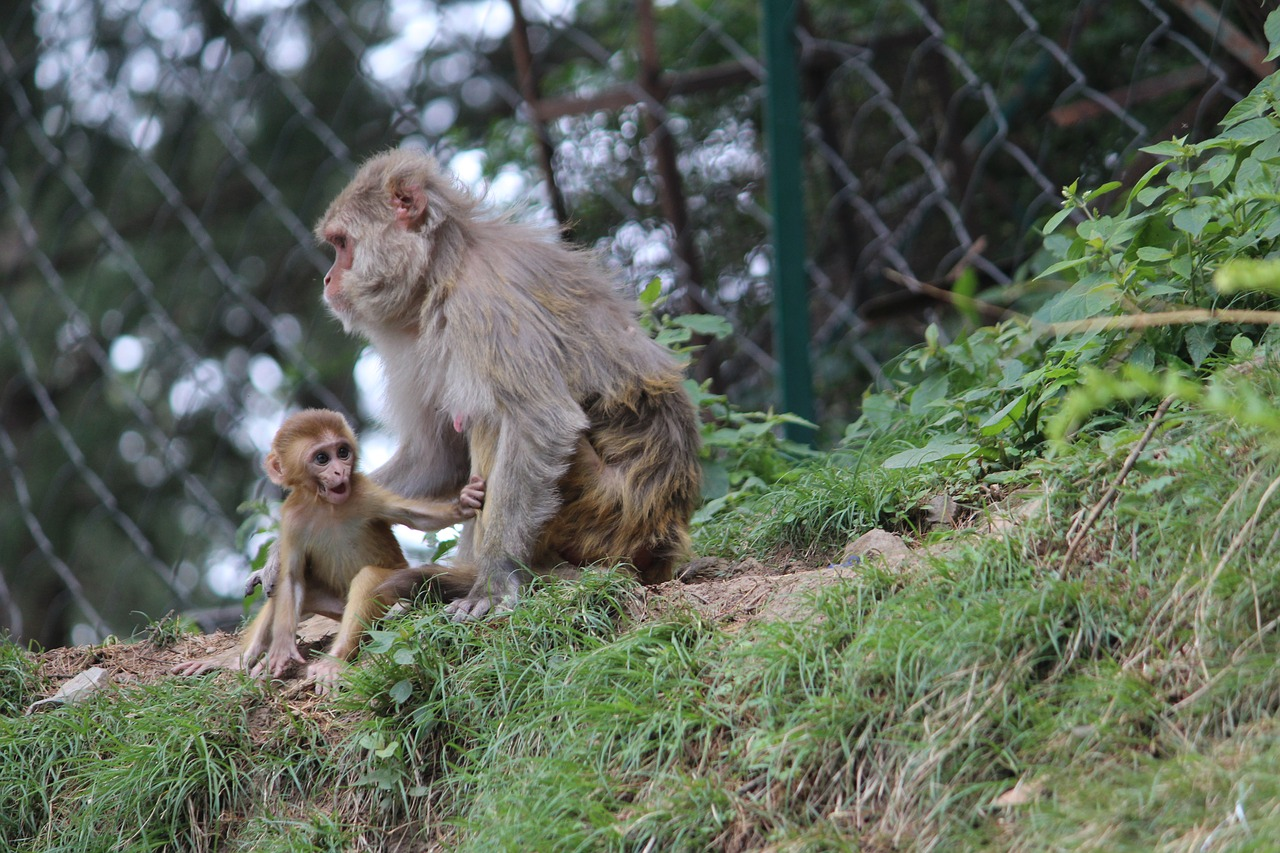 FREE macaque image