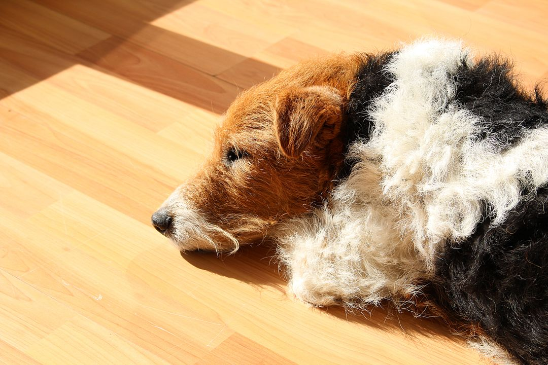Dog fox terrier sleep tired