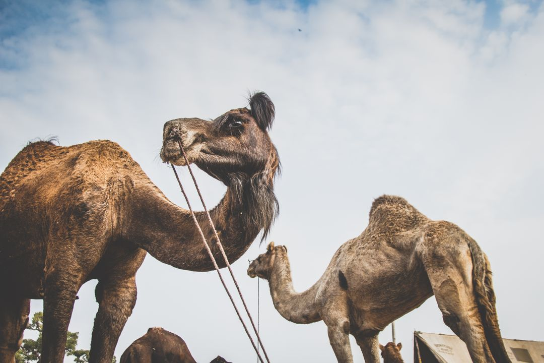 Arabian camel Camel Ungulate