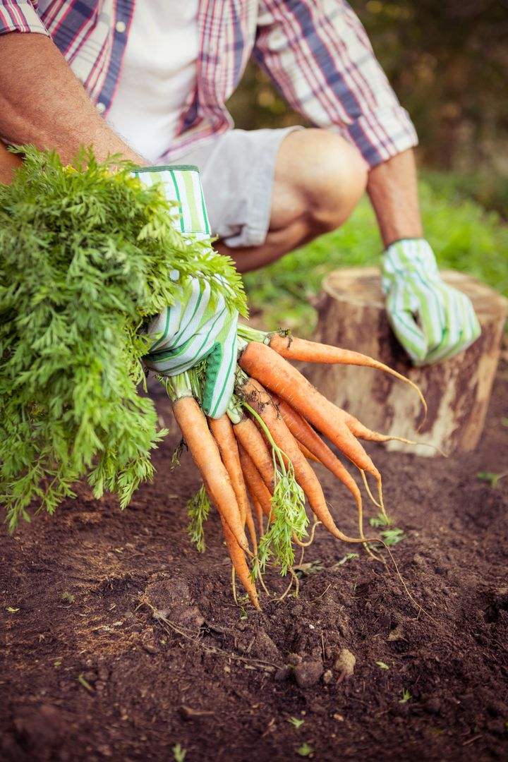 Gardener crouching with fresh organic carrots at farm Free Stock Images from PikWizard