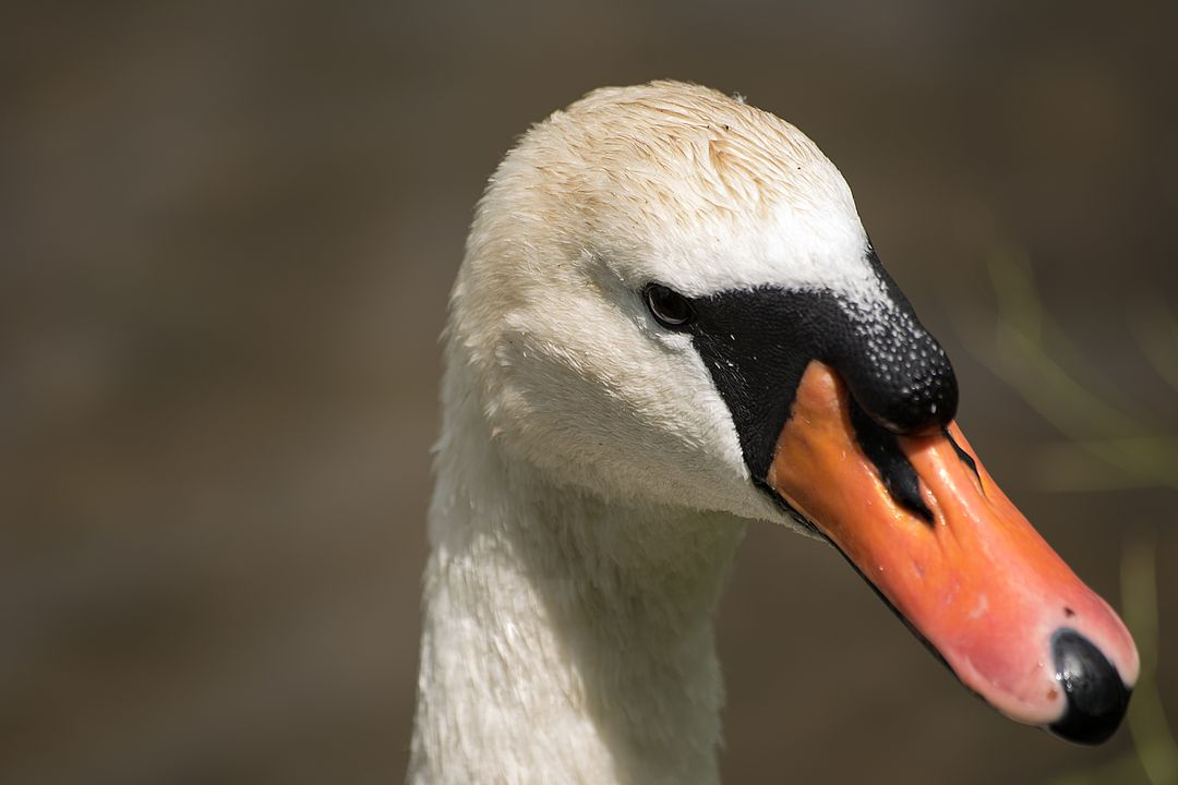 Swan Aquatic bird Bird