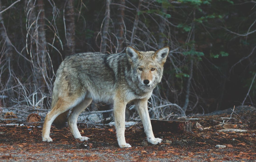 Wolf Canine Coyote