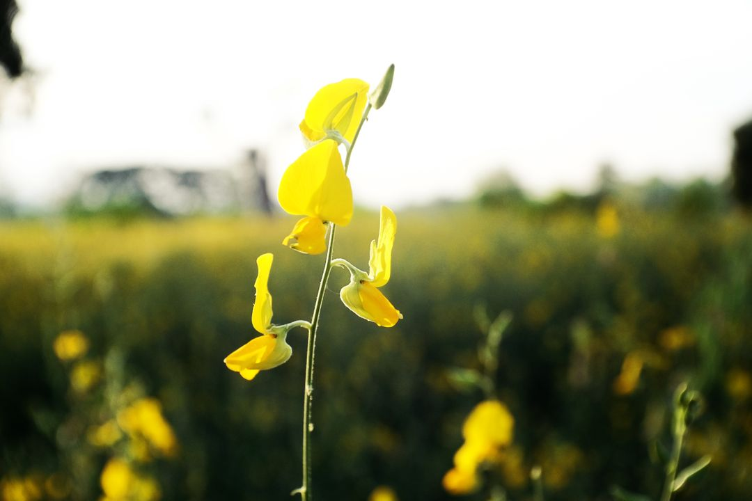Yellow Rapeseed Flower