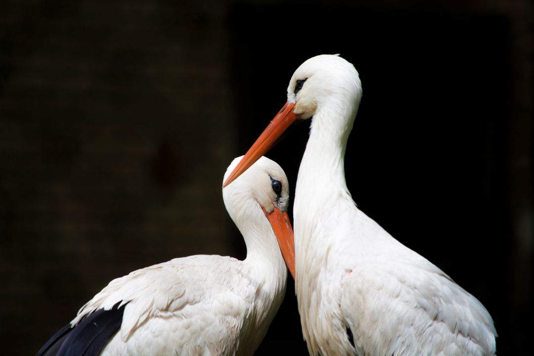 White and Black Storks
