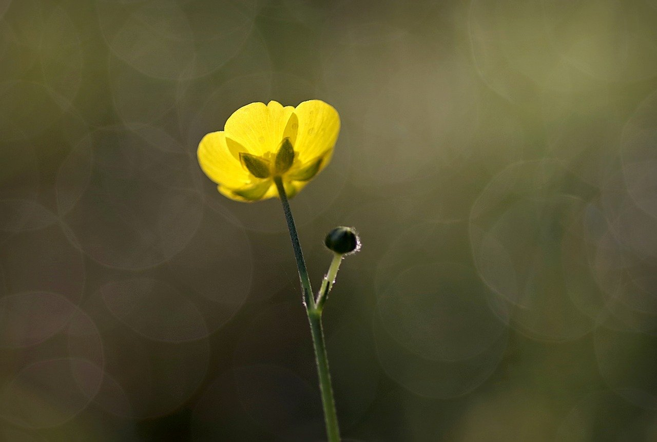 FREE buttercup Stock Photos from PikWizard