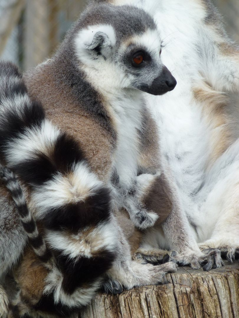 Cuddles lemur s longleat mother and baby