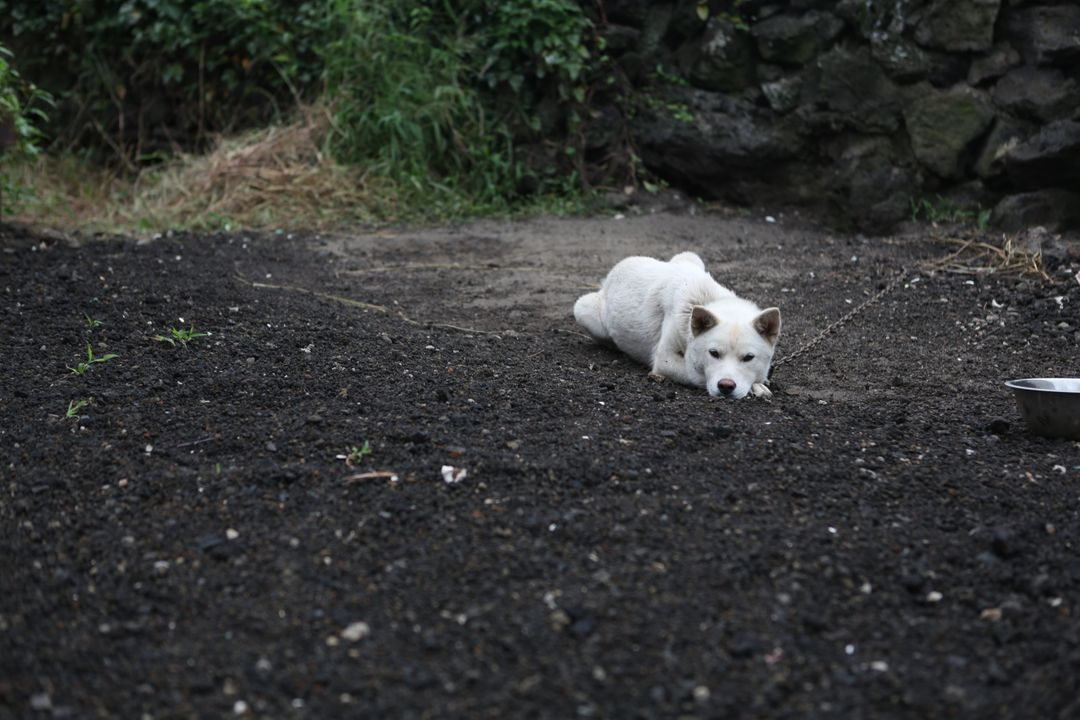 Alone dog korean jindo dog lonely