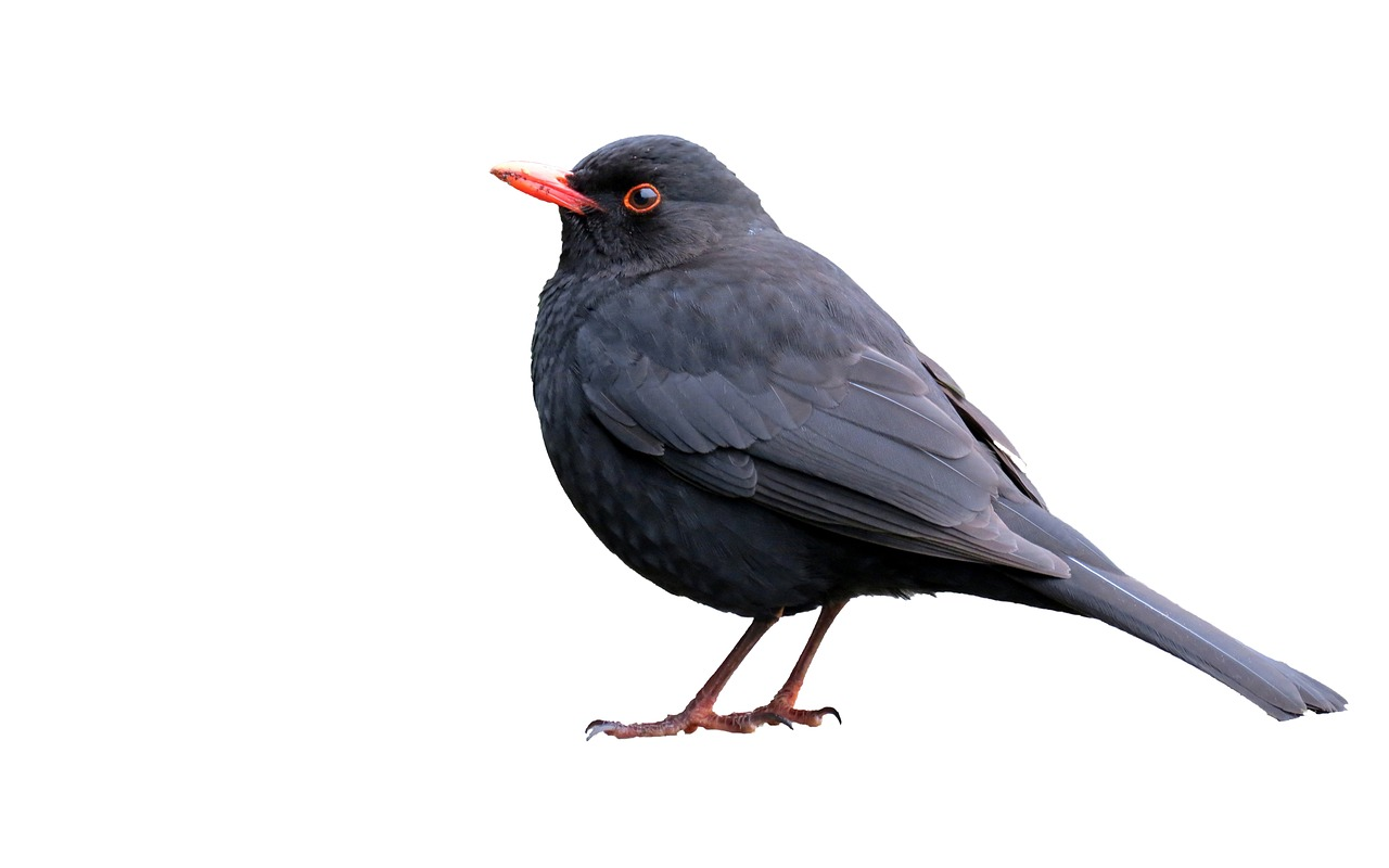 FREE starling image