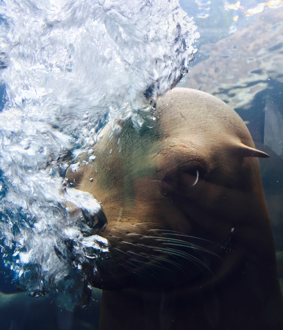 Sea lion Eared seal Seal