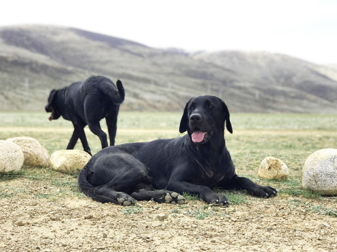 FREE retriever Stock Photos from PikWizard