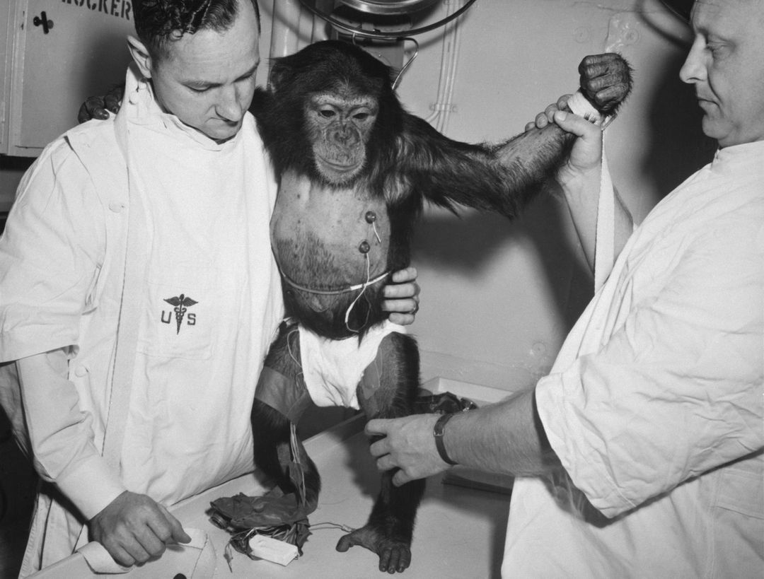 "S61-00203 (31 Jan. 1961) --- Chimpanzee ""Ham"" with bio-sensors attached to his body is readied by handlers for his trip in the Mercury-Redstone 2 (MR-2) spacecraft. Photo credit: NASA"
